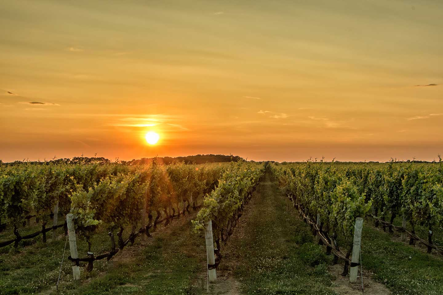 vineyard.sunset